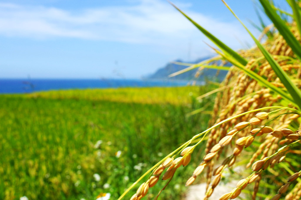 糖質制限 お米 白米 玄米 穀物 小麦