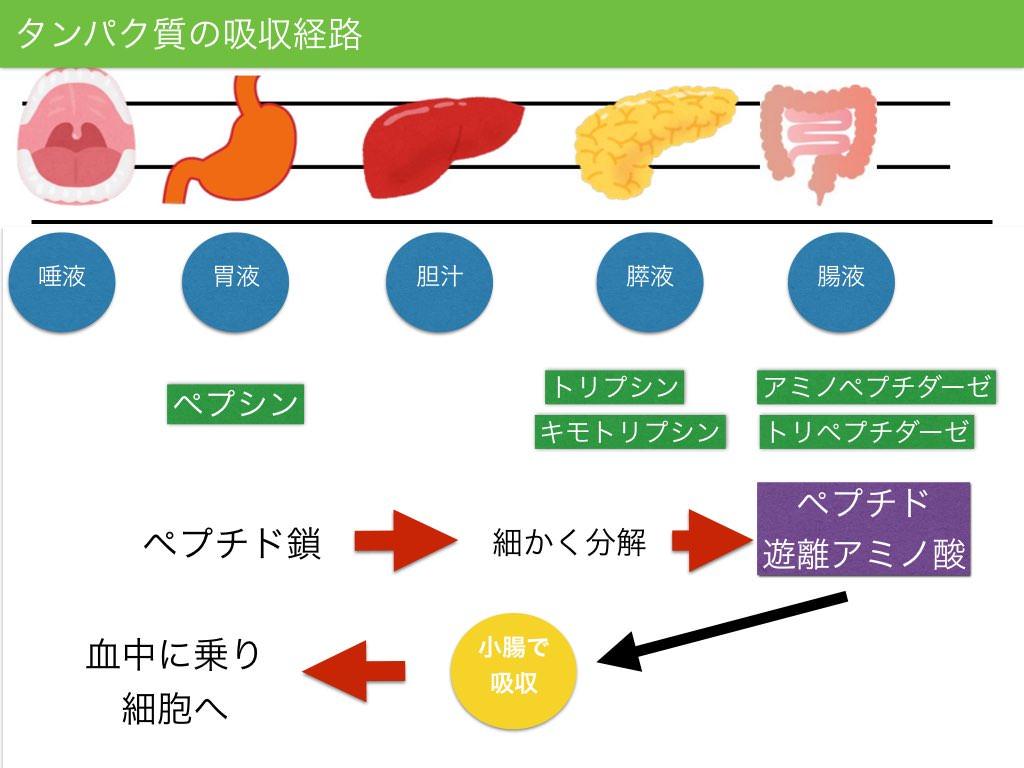 タンパク質の消化吸収.001
