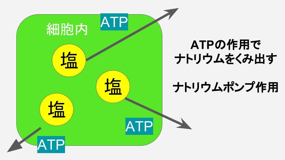 ATPのナトリウムポンプ作用 40代のむくみ